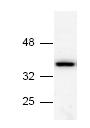Western blot - Anti-Annexin V antibody (ab14196)
