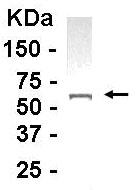 Western blot - Anti-APAF1 antibody (ab14228)