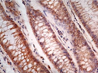 Immunohistochemistry (Formalin/PFA-fixed paraffin-embedded sections) - Anti-Caspase-1 antibody [14F468] (ab14367)