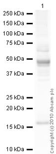 Western blot - Anti-ISG15 antibody (ab14374)