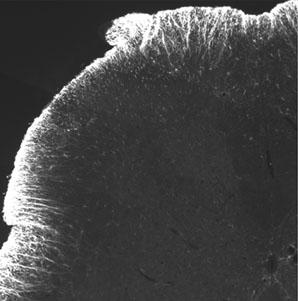 Anti-CREB (phospho S121) antibody (ab14830)