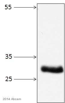 Western blot - Anti-REA antibody (ab15019)