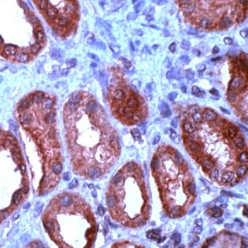 Immunohistochemistry (Formalin/PFA-fixed paraffin-embedded sections) - Anti-Wnt1 antibody - N-terminal, prediluted (ab15252)