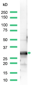 Western blot - Anti-14-3-3 beta antibody, prediluted (ab15262)