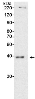 Western blot - Anti-QKI antibody (ab15338)