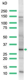 Western blot - Anti-PCNA antibody (ab15497)