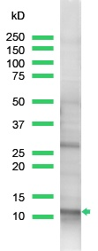 Western blot - Anti-ROC1 antibody, prediluted (ab15517)