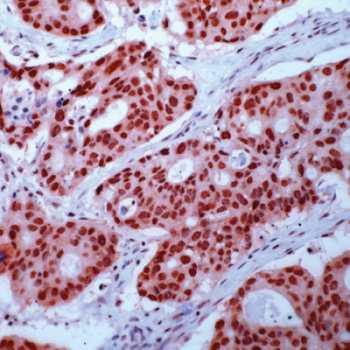 Immunohistochemistry (Formalin/PFA-fixed paraffin-embedded sections) - Anti-Retinoid X Receptor gamma antibody, prediluted (ab15519)