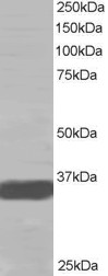 Western blot - Anti-Mortality Factor 4 like 2 antibody (ab15700)
