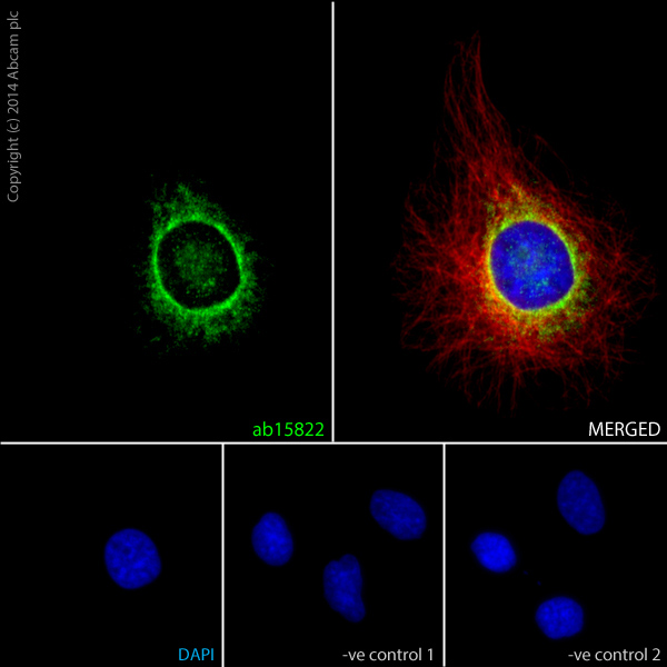 Immunocytochemistry/ Immunofluorescence - Anti-GAPDH antibody - Loading Control (ab15822)