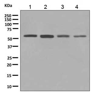 Western blot - Anti-ERp57 antibody [EPR10679(B)] (ab154197)