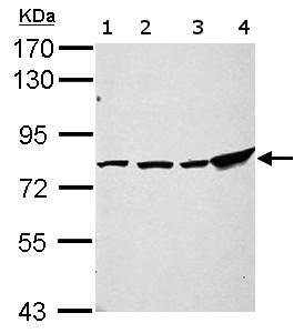 Western blot - Anti-ZNF408 antibody (ab155242)
