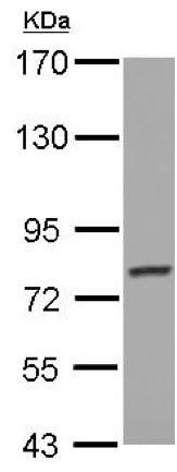 Western blot - Anti-PCDHGB4 antibody - N-terminal (ab155417)