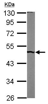 Western blot - Anti-PUS1 antibody (ab155544)