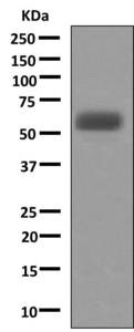 Western blot - Anti-A1BG antibody [EPR9830(B)] (ab156009)
