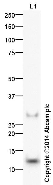 Western blot - Anti-COX5A antibody (ab156445)