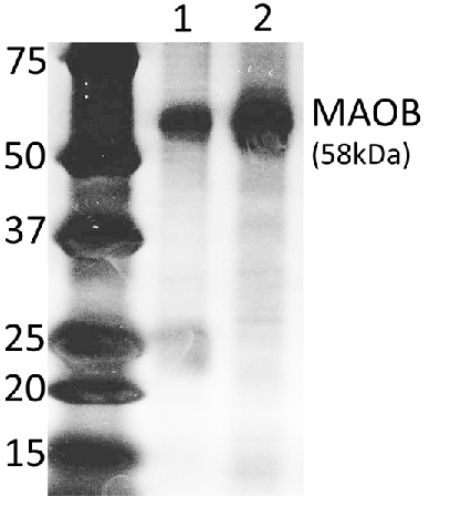 Specifity of the Detector Antibody