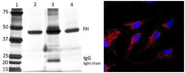Figure 3: Specificity of Capture Antibody