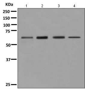 Western blot - Anti-eIF2A antibody [EPR11041] (ab157478)