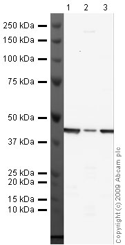 Western blot - Anti-beta Actin antibody (ab16039)