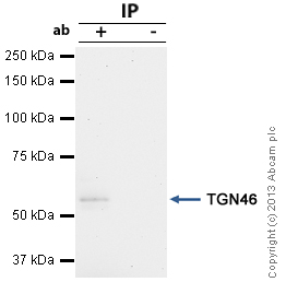 Immunoprecipitation - Anti-TGN46 antibody (ab16052)
