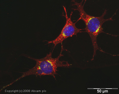 Immunocytochemistry/ Immunofluorescence - Anti-TGN46 antibody (ab16059)