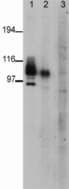 Western blot - Anti-PSD95 (phospho T19) antibody (ab16496)