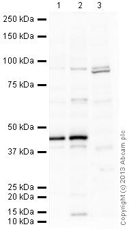 Western blot - Anti-NeuroD1 antibody (ab16508)