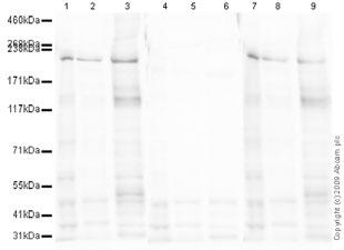 Western blot - nNOS (neuronal) (phospho S847) antibody (ab16650)