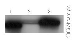 Western blot - Anti-FKBP25 antibody (ab16654)