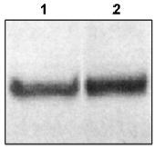 Western blot - Anti-Dab1 antibody (ab16675)