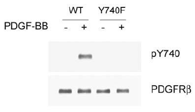 Western blot - Anti-PDGF Receptor beta (phospho Y740) antibody (ab16863)