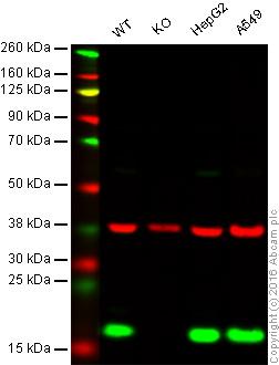 Western blot - Anti-Peroxiredoxin 5 antibody [12A] (ab16942)
