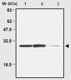 Western blot - Anti-Peroxiredoxin 4 antibody [7A1] (ab16943)