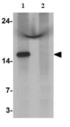 Western blot - Anti-C1orf64 antibody - C-terminal (ab167070)