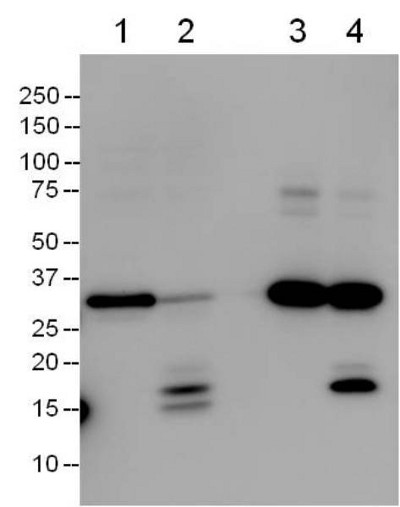 Demonstration of the capture antibody specificity