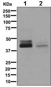 Western blot - Anti-LMCD1 antibody [EPR11443(B)] (ab169760)