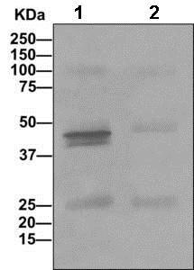 Immunoprecipitation - Anti-LMCD1 antibody [EPR11443(B)] (ab169760)