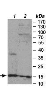 Western blot - Anti-PPIL3 antibody (ab169936)