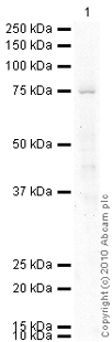 Western blot - Anti-Sodium Iodide Symporter antibody [SPM186] (ab17795)