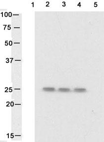 Western blot - Anti-Hsp27 (phospho S82) antibody (ab17937)