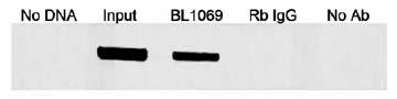 Immunoprecipitation - Anti-MafA antibody (ab17976)