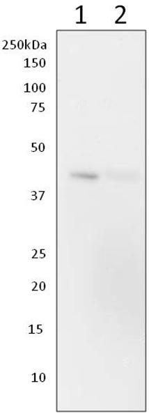 Western blot - Anti-Creatine kinase B type [ZN-1] antibody (ab170175)