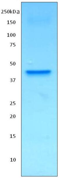 Immunoprecipitation - Anti-Creatine kinase B type [ZN-1] antibody (ab170175)