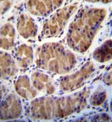 Immunohistochemistry (Formalin/PFA-fixed paraffin-embedded sections) - Anti-Enterokinase antibody - C-terminal (ab170601)