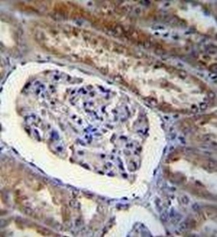 Immunohistochemistry (Formalin/PFA-fixed paraffin-embedded sections) - Anti-ARL5B antibody - C-terminal (ab170810)