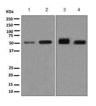 Western blot - Anti-KIR2DS2 [EPR8925(2)] antibody (ab170857)