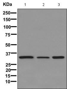 Western blot - Anti-DNAJB7 [EPR11138] antibody (ab170908)