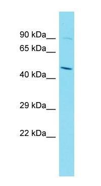 Western blot - Anti-NORE1 antibody - C-terminal (ab170997)