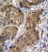 Immunohistochemistry (Formalin/PFA-fixed paraffin-embedded sections) - Anti-RNF11 antibody (ab171385)